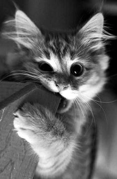 Cute Cats And Kittens, Baby Cats, Kittens Cutest, Ragdoll Kittens, Bengal Cats, Cute Pets, Pretty Cats, Beautiful Cats, Animals Beautiful