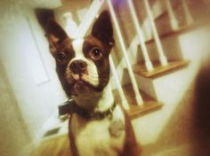 Randy, Colored Boston Terrier