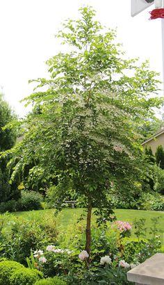 Fishtail Cottage: Fishtail Cottage Garden 5/25/15 Snowbell trees