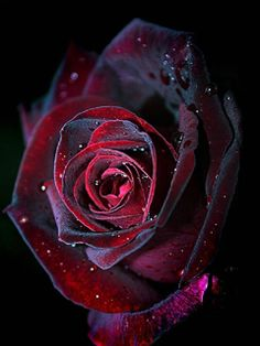 Black And Red Roses | Red And Black Roses Wallpaper For Mobile Phone | Free Wallpapers