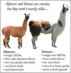 Rising Sun Exotics: *Alpaca vs Llama, What are the Differenc.- Rising Sun Exotics: *Alpaca vs Llama, What are the Differences? Rising Sun Exotics: *Alpaca vs Llama, What are the Differences? Alpaca Vs Llama, Cute Alpaca, Llama Llama, Llama Face, Alpaca Funny, Farm Animals, Animals And Pets, Funny Animals, Cute Animals