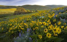 """""""One magical morning out in the Columbia Gorge. We hit the wildflowers right at their best. Hope you…"""" Landscape Wallpaper, Nature Wallpaper, Wallpaper Backgrounds, Wallpapers, Meadow Flowers, Wild Flowers, Windows Wallpaper, Terra, Pacific Northwest"""