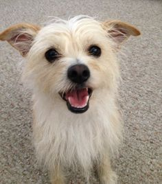 a sweet little terrier mix.Buttons, a sweet little terrier mix. Chihuahua Terrier, Bull Terrier Dog, Terrier Mix, Fluffy Puppies, Dogs And Puppies, Dog Haircuts, Best Dog Training, Beautiful Dogs, Dog Life