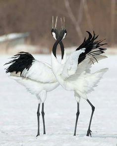 Japanese crane mating dance - Inspiration for possible future design Pretty Birds, Beautiful Birds, Animals Beautiful, Exotic Birds, Colorful Birds, Exotic Pets, Crane Dance, Animals And Pets, Cute Animals