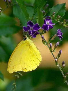~~Sulphur Butterfly by pk_capt_sun~~
