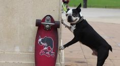 See How this Amazing Boston Terrier Rides his New Skateboard!   ► http://www.bterrier.com/?p=29923 - https://www.facebook.com/bterrierdogs
