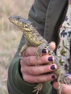 Sungazer girdled lizard