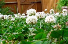 sow a lot of clover