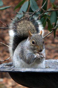 Squirrel in the bird bath