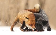 Foxes fight by ricikubica