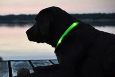 Bright LED lights can be seen up to feet away! Led Dog Collar, Losing A Dog, Pet Collars, Cool Gadgets, Dog Owners, Labrador, Glow, Dogs, Animals