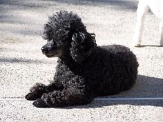black toy poodle full grown - Google Search                                                                                                                                                                                 More