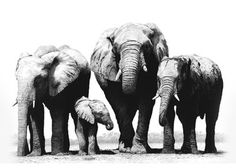 The Elephants Collection - David Dancey-Wood - One of the UK's leading pencil artists.