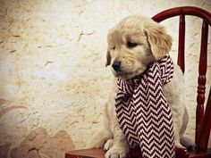 Golden Retriever puppy is ready for winter. <3