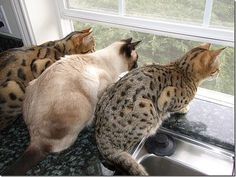 Three Fine Looking Cats Looking Out the Window.
