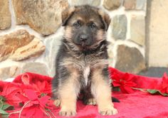 Listing Puppy for Sale Baby Puppies For Sale, Dogs And Puppies, German Shepherd Puppies, German Shepherds, Mount Joy, Cute Funny Animals, Cute Babies, Beautiful Dogs, Gender Female