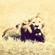 here kitty kitty... #lion