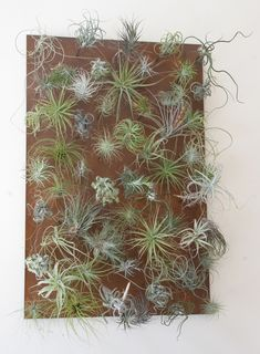 Tillandsia vertical garden. Great ideas for displaying these plants and…