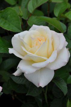 Hybrid Tea Rose: Rosa 'Yorkshire Bank' AKA  'True Love' (Netherlands, 1979)