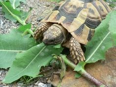 Ernährung - Thorsten Geier - www.schildkroetenfreund.de Thorsten, Tortoises, Animals And Pets, Turtles, Sink Tops, Vulture, Pets, Tortoise Tattoo, Funny Animals