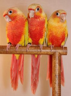 Green-cheek Conures, Pineapple mutation..I can't tell if they have red eyes or not