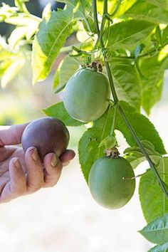Growing passion fruit: It's easy if you can beat the bugs