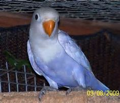 Violet Fischer's Lovebird - - Yahoo Image Search Results