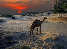 Somali camel retreats to the dunes as a bright orange equator sun sets over the Indian Ocean off Kenya's northern Swahili Coast. Getty Images © 2008 David Schweitzer