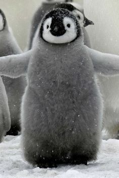 A chubby baby penguin standing in the snow with its arms out.