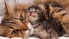 Pet Planet: Sweet Moment Between Mon Cat and Baby Kittens Cute Kittens, Baby Kittens, Animals Kissing, Cute Baby Animals, Animals And Pets, Cat Hug, Funny Pigs, Beautiful Cats, I Love Cats