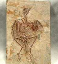 Rare Ancient Bird Fossil with Preserved Feathers Protopteryx fengningensis from Hebei Province, China  Name: Protopteryx fengningensis Phylum: Chordata; Subphylum Vertebrata; Class Aves; Subclass Enantiornithes  Geological Time: Early Cretaceous  Size: 120 mm long (tip of skull to tip of toes); Matrix: 85 mm by 141 mm  Fossil Site: Yixian Formation, Fengning County, Hebei Province of China