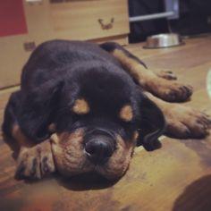 #rottweiler #puppy Rottweiler Puppies, Dogs, Animals, Animais, Animales, Animaux, Pet Dogs, Doggies, Animal