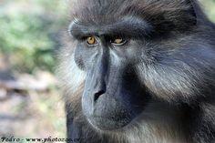 Tonkean Macaque | Tonkean macaque (Macaca tonkeana)  https://nl.pinterest.com/cassandraquiner/macaque/