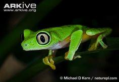 Endangered Species of the Week: Lemur leaf frog