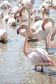 Flamingos - Parc Ornithologique de Pont-de-Gau, Camargue, southern France | wetlands of the Rhone River delta