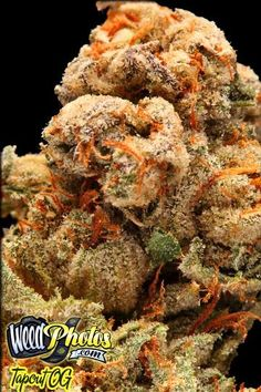 Tapout OG Marijuana Strain Pictures
