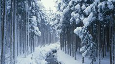 This kind of beautiful forest can be seen all over the world in winter.except the obvious. Tree Winter Wallpaper, Winter Desktop Background, Tree Wallpaper, Christmas Wallpaper, Free Desktop Wallpaper, Full Hd Wallpaper, Computer Wallpaper, Perfect Wallpaper, Desktop Backgrounds