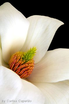 ~~Magnolia by carlos_capelão~~