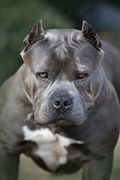 Xica, the #Pitbull, by Jim Aba