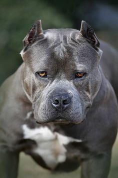 Xica, the #Pitbull, by Jim Aba - gorgeous!