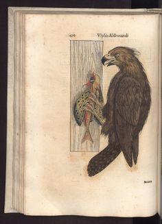 """Aquila (marina?) in Aldrovandi, Ulisse, """"Ornithologiae hoc est De auibus historiae libri 12. ..."""", 1599"""
