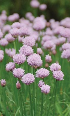 Allium 'Chivette' - Intrinsic Perennial Gardens Inc. Deer Resistant Garden, Perennial Gardens, Planting Plan, Seed Catalogs, Allium, Perennials, Seeds, Nursery, American