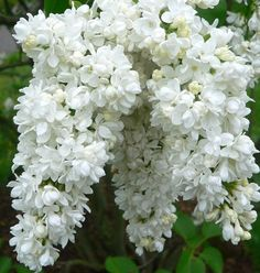 White lilac bush. One of the most powerful fragrances emitted by a plant.  Lilacs prefer a rich well drained soil. Although they will grow in light shade, they will develop a more dense plant habit and flower much better when grown in full sun. Lilacs are very easy to grow and maintenance free.