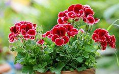 Aby krásně kvetly i v další sezoně aneb Zimní a předjarní péče o muškáty