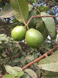 #Guava #Amrud #Jamphal