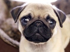 Which Pug GIF Are You?