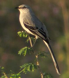 Tropical Mockingbird (Mimus gilvus) - The tropical mockingbird is a resident breeding bird from southern Mexico south to northern Brazil, and in the Lesser Antilles and other Caribbean islands. The birds in Panama and Trinidad may have been introduced.