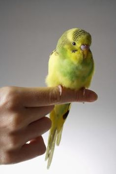While parakeets are clever, affectionate birds, their instincts tell them to be wary of humans. Your size is intimidating to a parakeet, so you can't just pick one up like a puppy. By slowly building trust with your bird, you ensure a long, close, hands-on relationship.