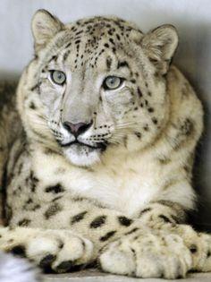 images of snow leopards | Snow Leopard
