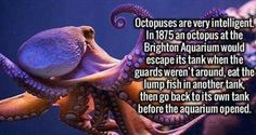 octopus, nobody's fool - İnteresting İnformation And Curiosities Fun Facts About Animals, Animal Facts, Underwater Creatures, Ocean Creatures, Octopus Facts, Funny Animals, Cute Animals, Clever Animals, Unusual Facts